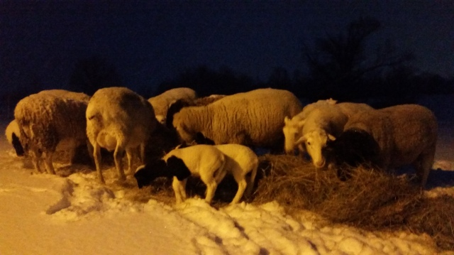 Ewes and lambs bale graze by light of the barn.