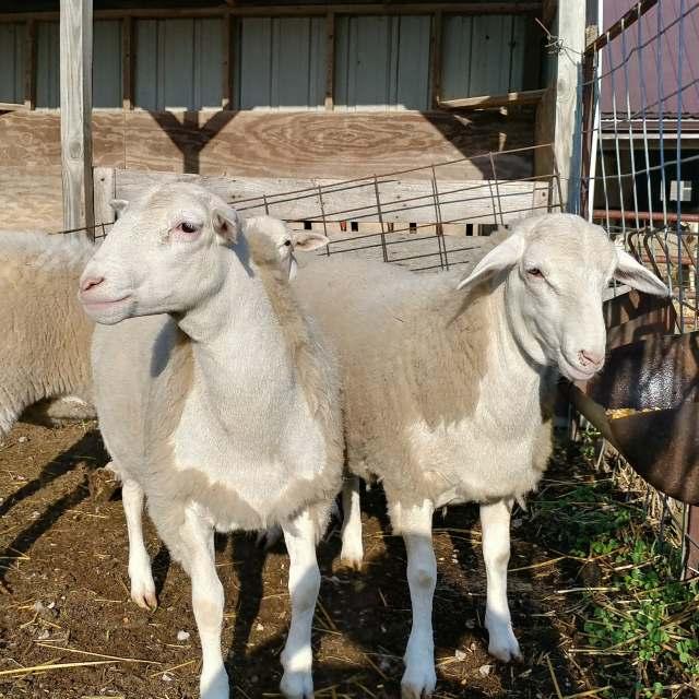 dorper lambs